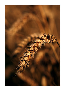 Wheat Field (Reworked) | by -terry-