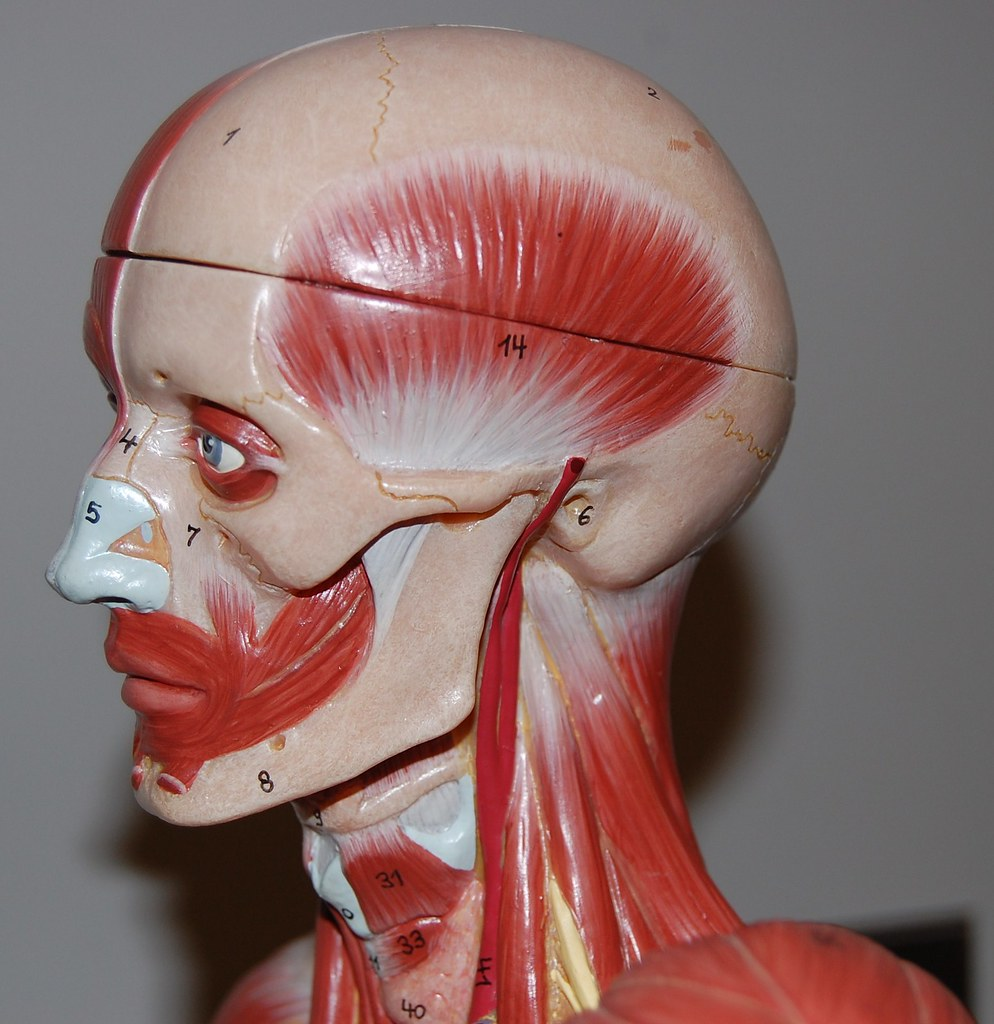 Muscles of The Head And Neck Lateral View Neck Left Lateral View