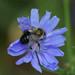 Bombus impatiens, Common Eastern Bumblebee male