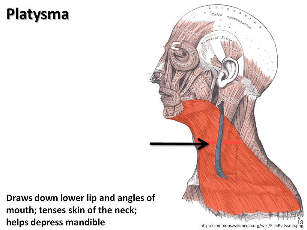 Platysma Muscles Of The Upper Extremity Visual Atlas Pa Flickr
