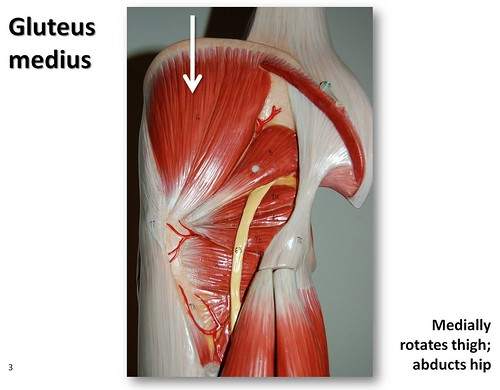 Gluteus medius - Muscles of the Lower Extremity Anatomy Visual Atlas, page 3 | by Rob Swatski