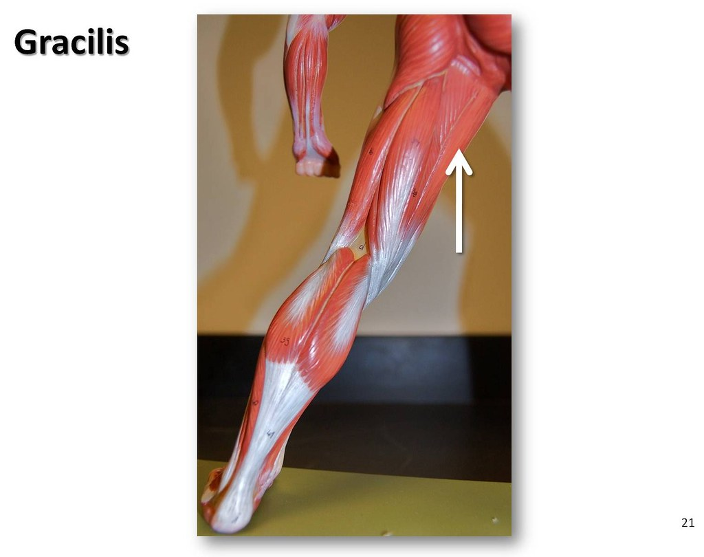 Gracilis - Muscles of the Lower Extremity Anatomy Visual A… | Flickr