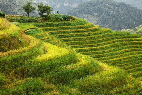 Harvest season is coming soon longsheng rice terrace gua for 100 rice terrace drive columbia sc