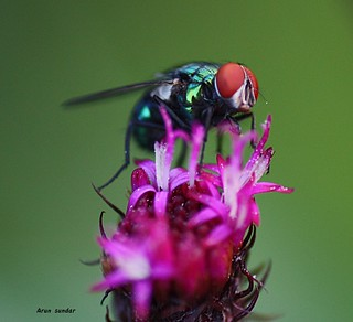 Colored fly! | by Arun Sundar