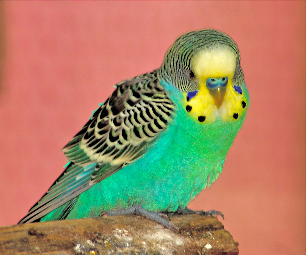 Budgie | Background is pink chains hanging near the ...