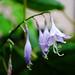 hosta blossoms color
