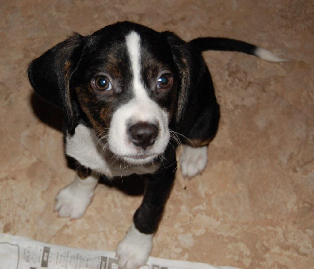 Beagle Rescue Dogs For Sale