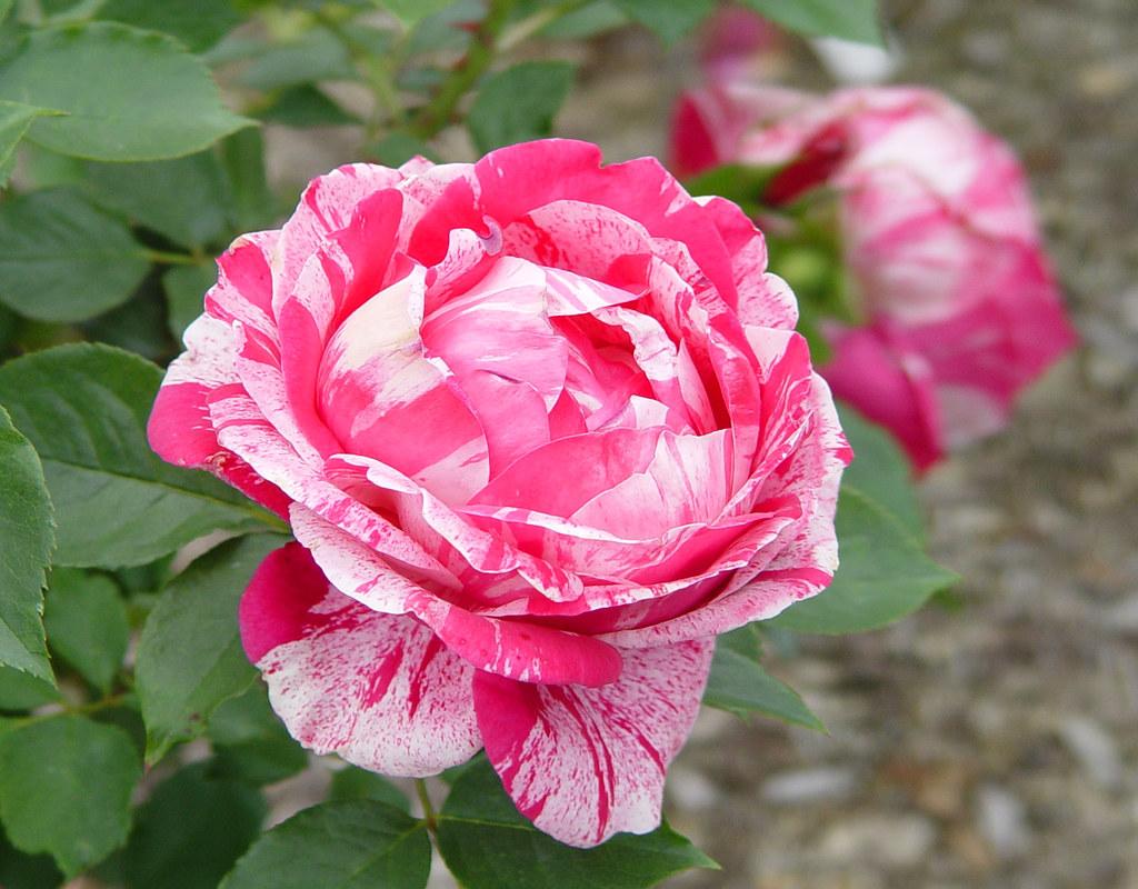 rose henri matisse floribunda henri matisse flickr. Black Bedroom Furniture Sets. Home Design Ideas