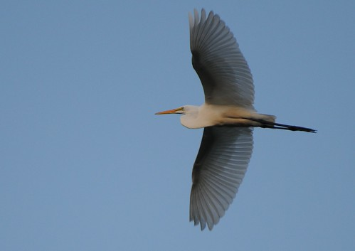 Great Egret in flight | by Seetaram P