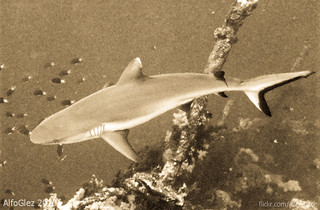 Grey reef shark (Big Brother island, Red Sea) | by alfonsator
