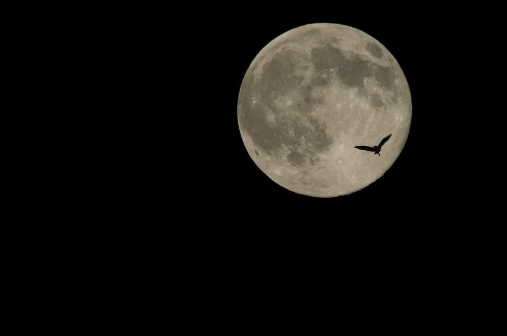 月見鳥 birds flying to the moon 十六夜の満月にサギが飛んでました