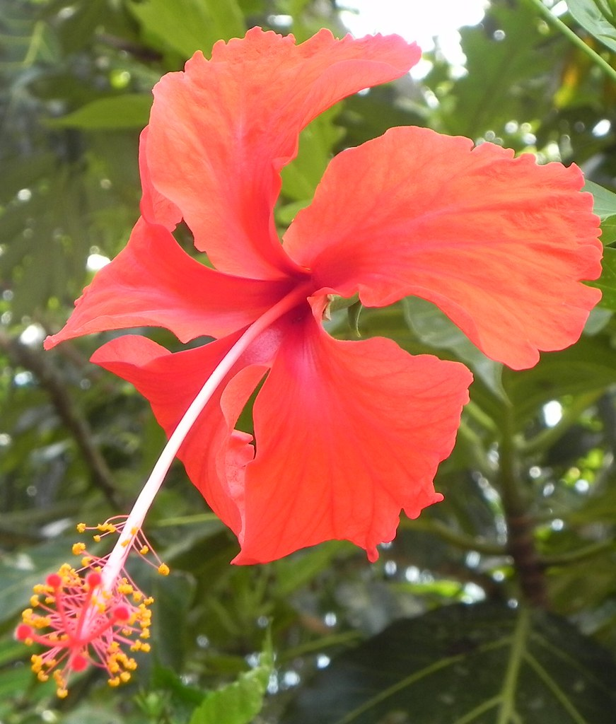 Bunga raya hibiscus malaysia national flower hibiscus p flickr bunga raya hibiscus by khalid07 izmirmasajfo