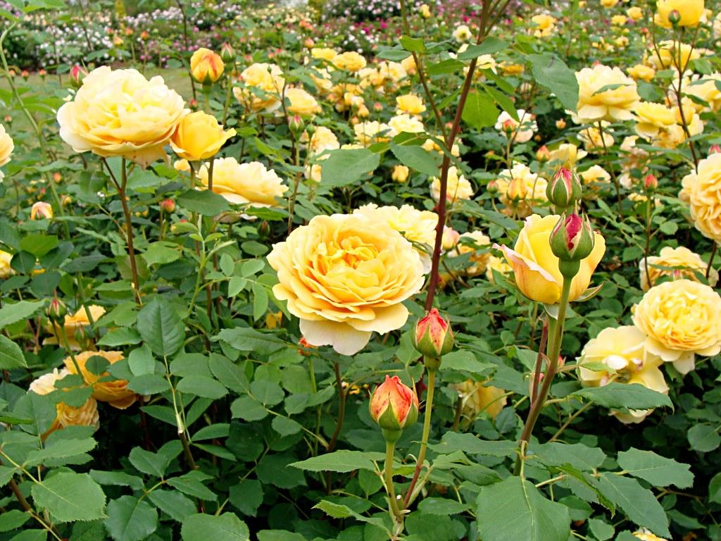 rose golden celebration english rose. Black Bedroom Furniture Sets. Home Design Ideas