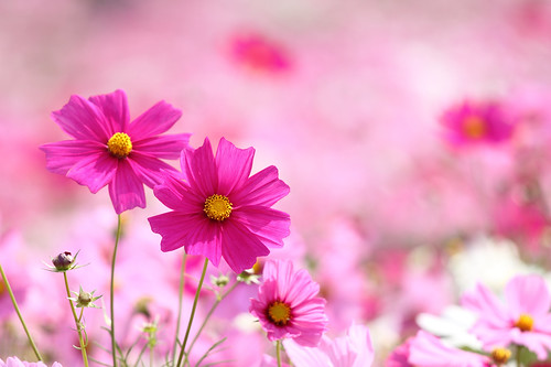 pink cosmos | by * Yumi *