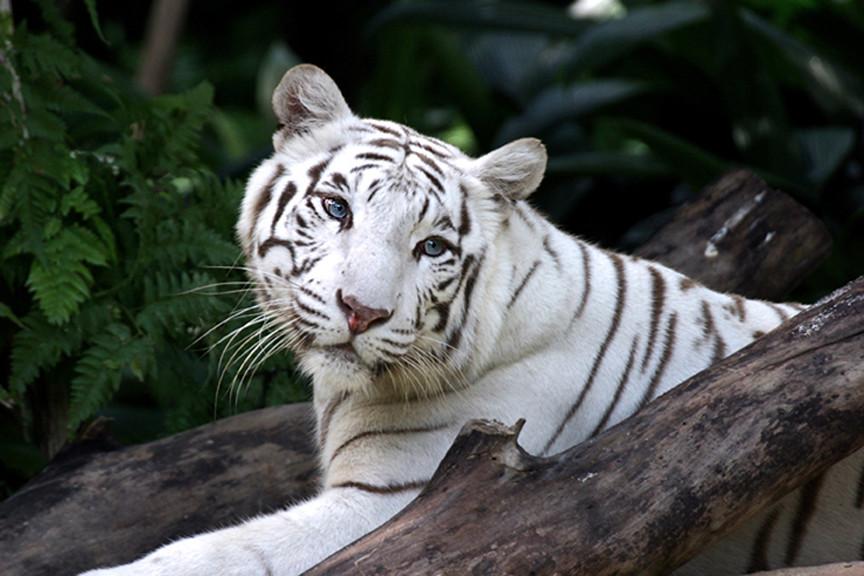 white tigress | Singapore Zoo | Mike Seamons | Flickr