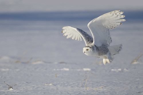 Snowy Owl - Michigan | by www.studebakerstudio.com
