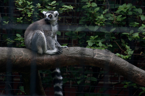 Lemur | by joshames