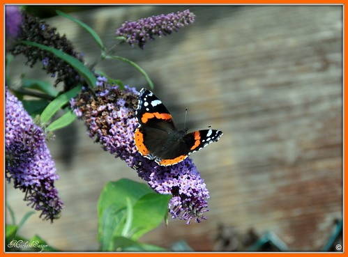 Red Admiral - Vanessa Atalanta | by michaelsaiger