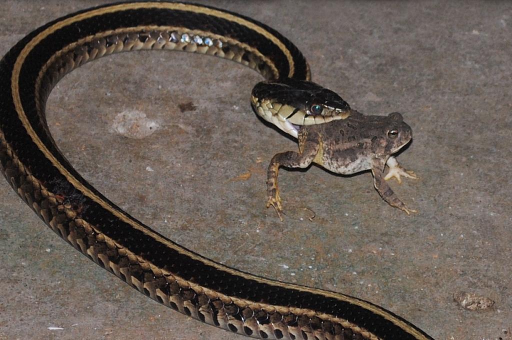 Superb ... Garter Snake And Toad | By Nebraska Farm Boy