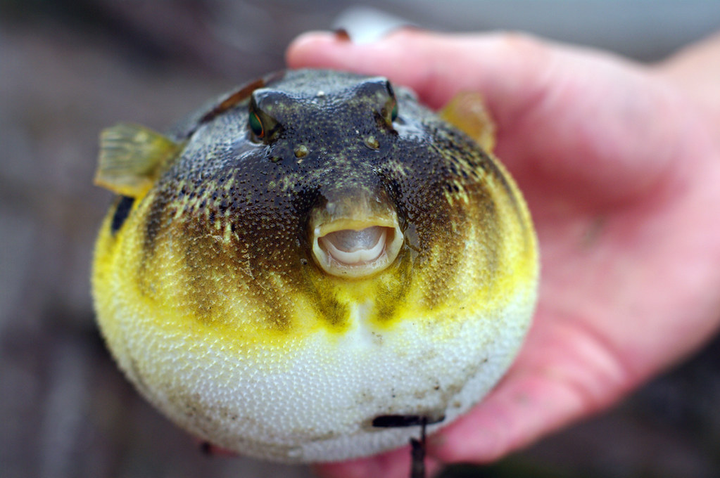 Northern Puffer | No puffers were harmed in the making of ...