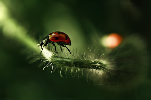 coccinellidae | Fakir's wife | by cliccath