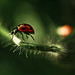coccinellidae | Fakir's wife