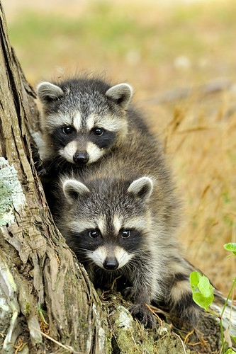 Baby Raccoons | by Bill Shatto