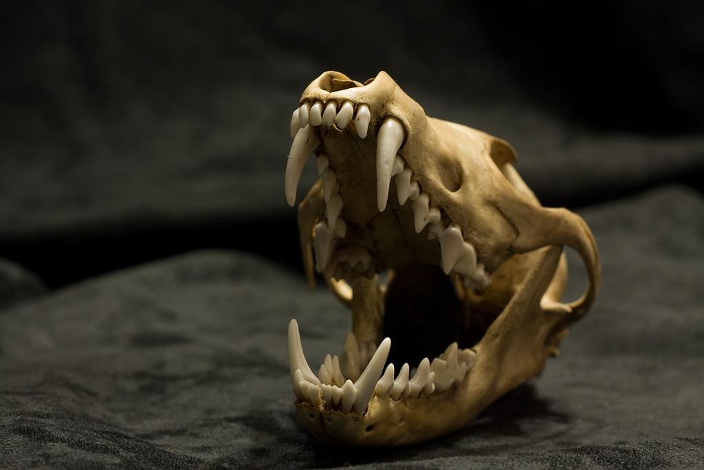 Red Fox Teeth | Om nom nom | Dark Morelia | Flickr