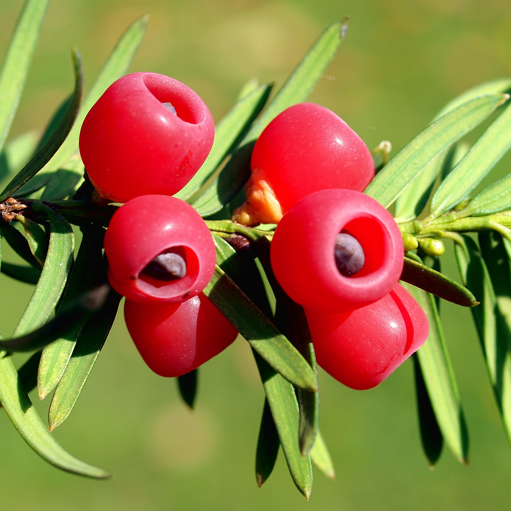 seeds from a european yew the plant taxus baccata taxace flickr