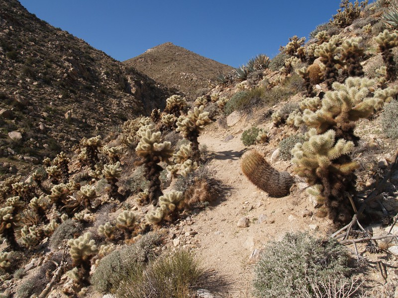 The trail continues uphill through a veritable minefield of cholla cactii