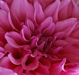 Inside a Dahlia | by janruss
