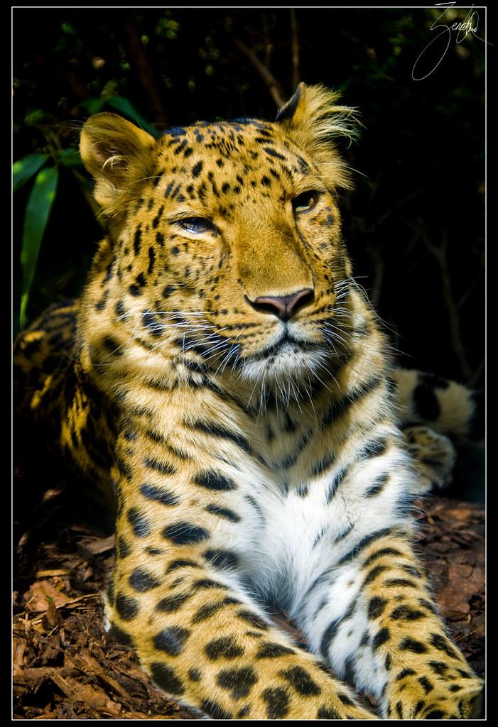 Big Cats At Edinburgh Zoo