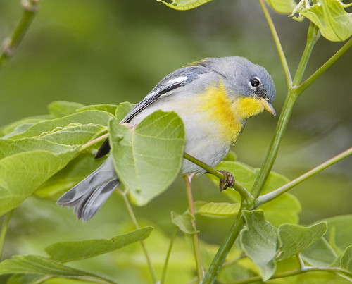BI100512-115 - Northern Parula - Female | by lgooch