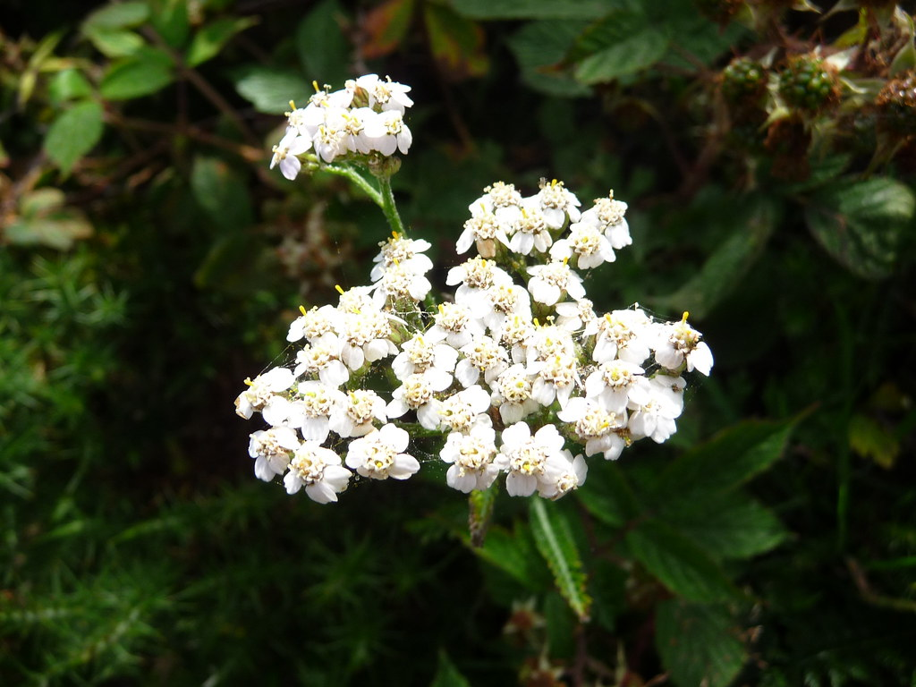 White Flowers Identification Please Indentify Owen Usher Flickr