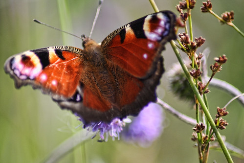 The Modest Butterfly (Tak-Ma-Doon-Road,Scotland) | by Mr Andy Bird