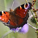 The Modest Butterfly (Tak-Ma-Doon-Road,Scotland)