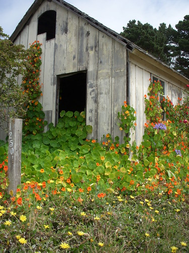 Road side shed covered in Nasturtiums, Manchester, CA | by picksnoz