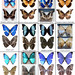 Blue Morpho Butterfly Chart