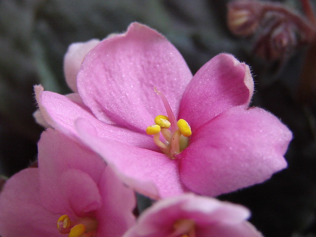 African Violet - Pink | Flickr - Photo Sharing!