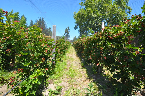 Sebastopol Berry Farm | by Almanac Beer