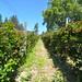Sebastopol Berry Farm