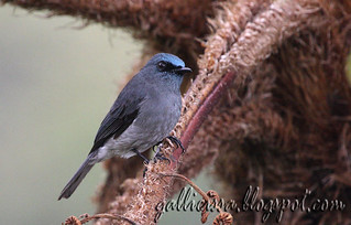 Dull-blue Flycatcher | by Gallicissa