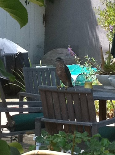 Cooper's Hawk in the backyard, just before catching a rodent (Photo #2 of 2) | by Asparagirl