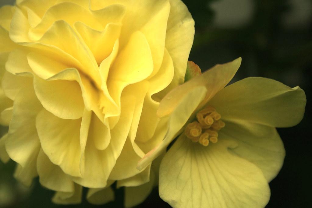 Yellow Geranium 10 Sonja Flickr