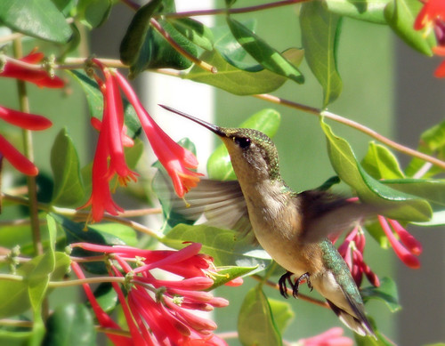 Humming Bird 04 | by Hammer51012