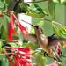 Humming Bird 04