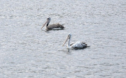 The Pelican Couple | by rajnishjaiswal