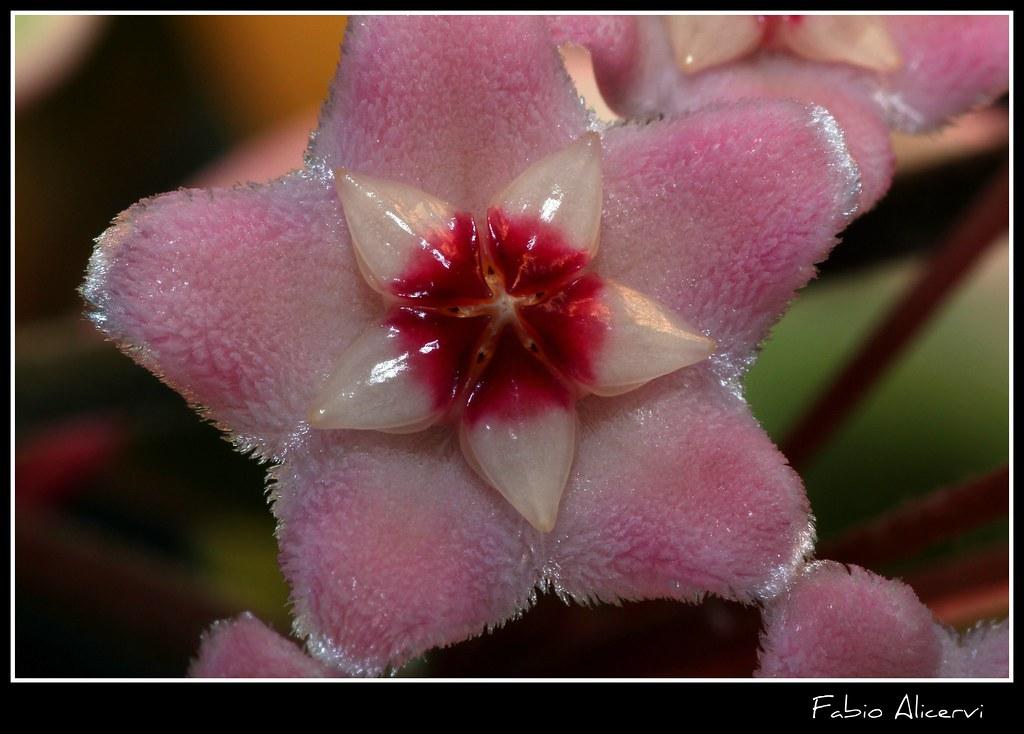 Hoya carnosa l 39 hoya carnosa comunemente chiamata anche for Un rampicante fiorifero
