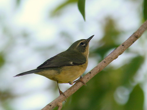 Black-throated Blue Warbler female 20100916 | by Kenneth Cole Schneider
