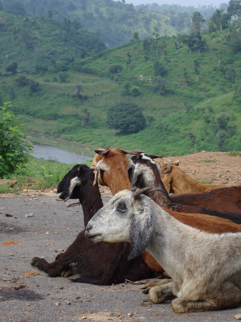 H F Cattle India Rajasthan goats | Goat...